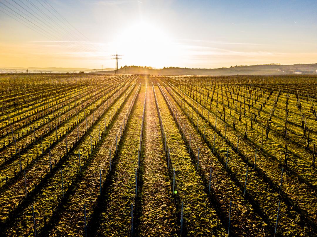 Vineyard in the evening sun near Schloss Vollrads and Schloss Johannisberg in the Rheingau @rheingauprinzessin @rheingau_musik_festival @schloss.vollrads